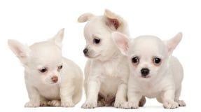 Três filhotes de cachorro da chihuahua, 2 meses velhos Fotos de Stock Royalty Free