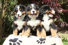 Assento de três filhotes de cachorro do cão de montanha de Bernese Foto de Stock Royalty Free