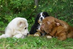 Três filhotes de cachorro em uma grama. Foto de Stock