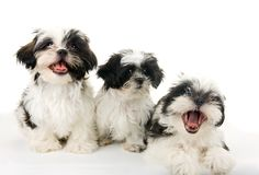 Três filhotes de cachorro felizes Fotografia de Stock Royalty Free