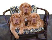 Três filhotes de cachorro na poltrona. Fotografia de Stock Royalty Free