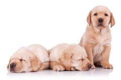 Três filhotes de cachorro pequenos adoráveis do retriever de Labrador Fotografia de Stock