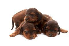 Três filhotes de cachorro recém-nascidos Imagens de Stock