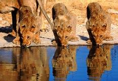 Três filhotes de leão adolescentes que bebem de um waterhole com boa reflexão Fotos de Stock Royalty Free