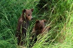 Três filhotes de urso marrom do Alasca Fotografia de Stock Royalty Free