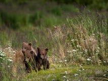 Três filhotes de urso marrom do Alasca Foto de Stock Royalty Free
