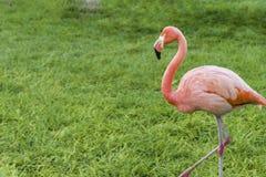 Três flamingos bonitos, dois flamingos cor-de-rosa e um suporte branco do flamingo na fileira junto imagem de stock royalty free
