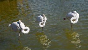 Três flamingos brancos que estão na água rippled vídeos de arquivo