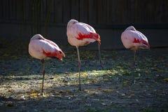 Três flamingos cor-de-rosa que estão em um pé e que descansam com a cabeça dobrada sob uma asa imagem de stock