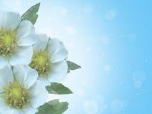 Três flores brancas Foto de Stock