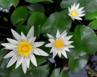 Três flores brancas na lagoa imagem de stock royalty free