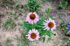 Três flores cor-de-rosa Fotografia de Stock Royalty Free