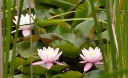 Três flores cor-de-rosa da almofada de lírio Fotos de Stock Royalty Free
