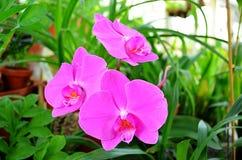 Três flores cor-de-rosa da orquídea em uma estufa Imagens de Stock Royalty Free