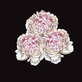 Três flores cor-de-rosa delicadamente tiradas mão da peônia isoladas no fundo preto botanical ilustração stock
