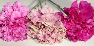 Três flores cor-de-rosa do cravo isoladas no fundo branco imagens de stock