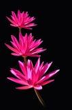 Três flores cor-de-rosa do lírio de água Foto de Stock Royalty Free