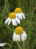 Três flores da camomila para um copo do chá foto de stock royalty free