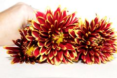 Três flores da dália com mão no fundo imagens de stock royalty free