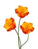 Três flores da papoila Fotografia de Stock Royalty Free