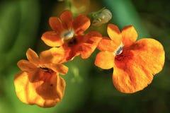 Três flores de Nemesia alaranjado no verão Imagem de Stock Royalty Free