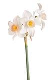 Três flores de um junquilho cor-de-rosa e branco isolado Imagem de Stock Royalty Free