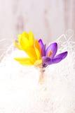 Três flores do açafrão da mola nas cordas brancas Fotos de Stock