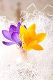 Três flores do açafrão no vaso pequeno Imagens de Stock Royalty Free