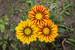 Três flores do Gazania Imagem de Stock
