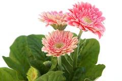 Três flores do gerber Imagens de Stock Royalty Free