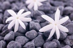Três flores do jasmim em pedras do zen fecham-se acima Fotos de Stock