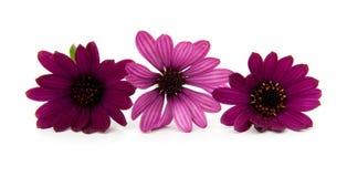 Três flores roxas da margarida foto de stock