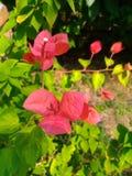 Três flores vermelhas da buganvília Imagens de Stock Royalty Free