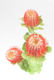 Três flores vermelhas do grevillea Imagens de Stock