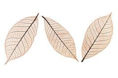 Três folhas Foto de Stock