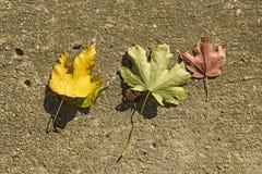 Três folhas Fotografia de Stock Royalty Free