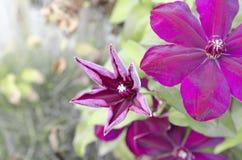 Três folhas da clematite roxa perto da cerca de madeira fotografia de stock royalty free