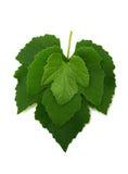Três folhas da uva Imagem de Stock