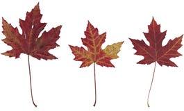 Três folhas de plátano secas do outono Fotografia de Stock Royalty Free