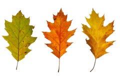 Três folhas do carvalho Fotos de Stock