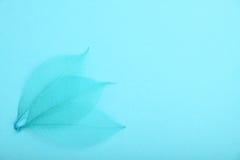 Três folhas do esqueleto do azul no papel do projeto Foto de Stock