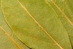 Três folhas do louro. Imagens de Stock