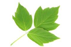 Três folhas verdes Fotografia de Stock