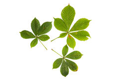 Três folhas verdes da árvore de castanha isoladas no branco Foto de Stock