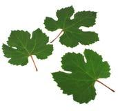 Três folhas verdes da videira. Fotos de Stock