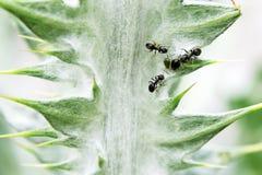 Três formigas que ordenham afídios Fotografia de Stock Royalty Free