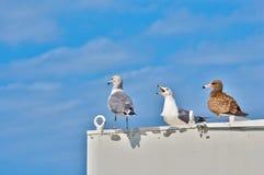 Três gaivotas Imagem de Stock Royalty Free
