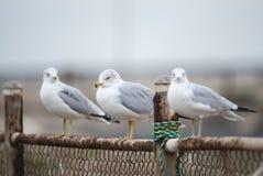Três gaivotas em um dia nebuloso Imagem de Stock Royalty Free