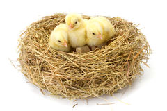 Três galinhas amarelas pequenas no ninho do feno Fotografia de Stock Royalty Free
