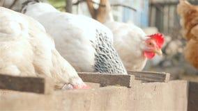 Três galinhas comem a grão no alimentador video estoque